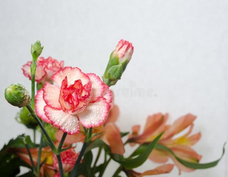Dubbel rosa nejlika arkivfoto