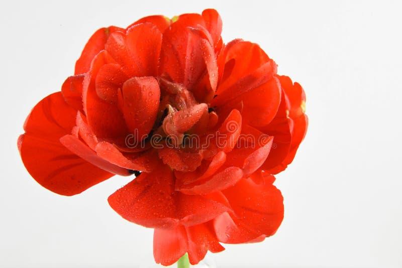 Dubbele bloei rode tulp met regendruppels stock foto
