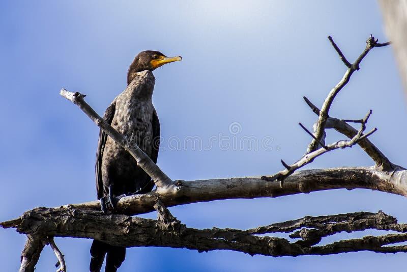 Dubbele Crested Cormorant die op een Limiet wordt uitgevoerd royalty-vrije stock foto's