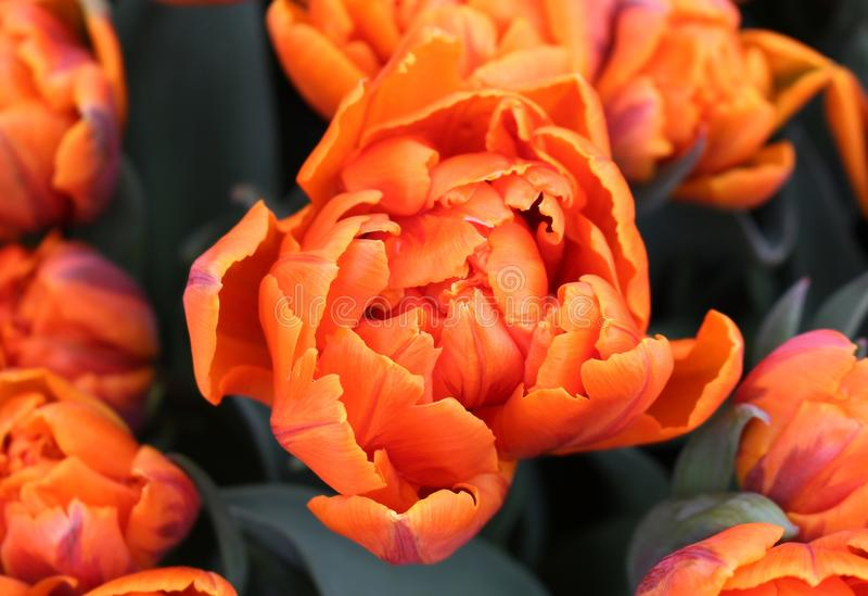 Dubbele recente tulp Oranje prinses De lente in Nederland stock foto's
