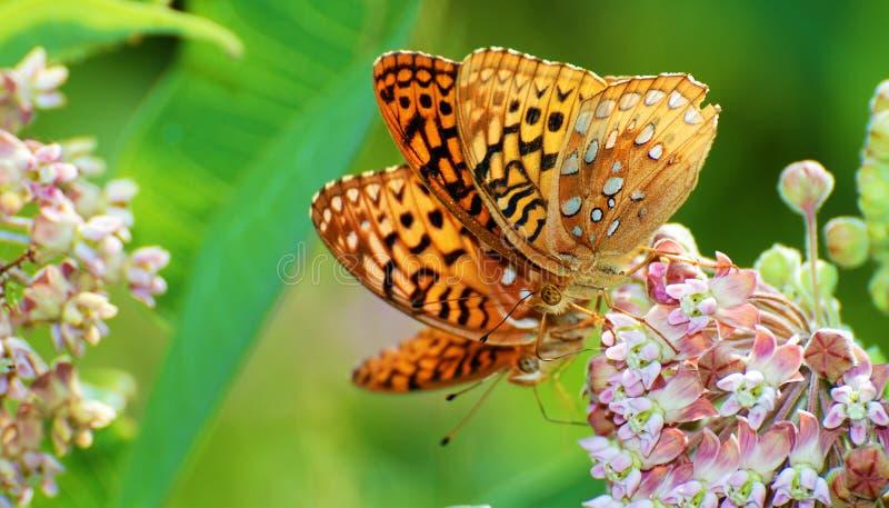 Dubbla fjärilar royaltyfri fotografi