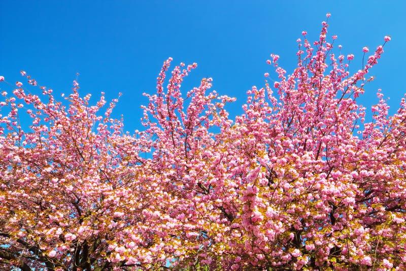 Dubblera blommiga körsbärsröda träd mot klar blå himmel royaltyfri fotografi