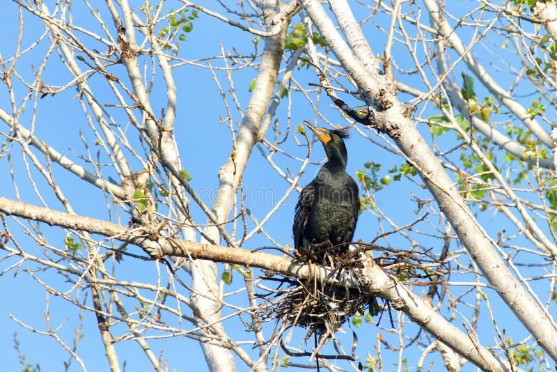 Dubblera den krönade kormoran som bygga bo i överkanten av det karga trädet för bladet royaltyfri bild