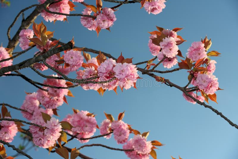 Dubblett-blommad oavkortad blom för körsbärblomningar på soluppgången arkivfoton