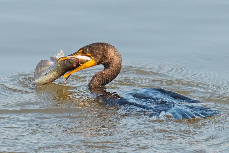 Dubblett krönad kormoran arkivbilder