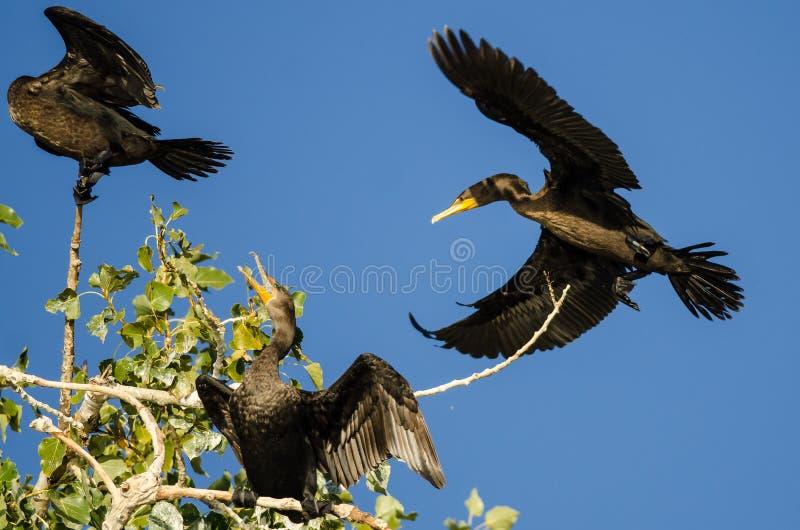 Dubblett-krönad kormoran som högt landar i ett träd arkivbilder
