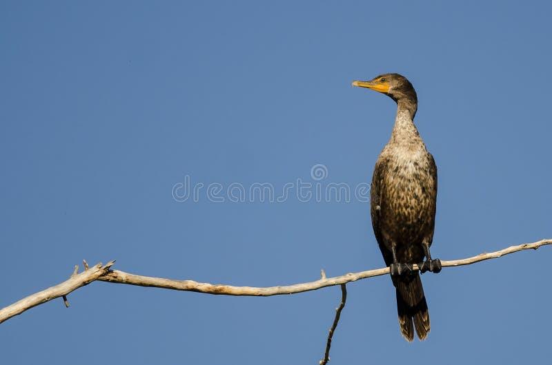 Dubblett-krönad kormoran som sätta sig i högväxt träd royaltyfri bild