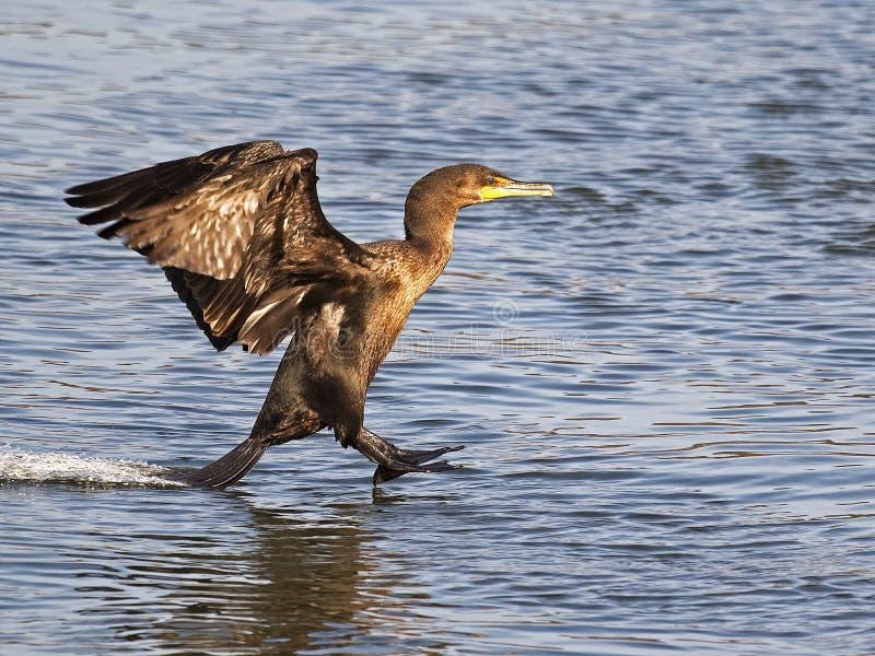 Dubblett krönad kormoranlandning arkivbilder