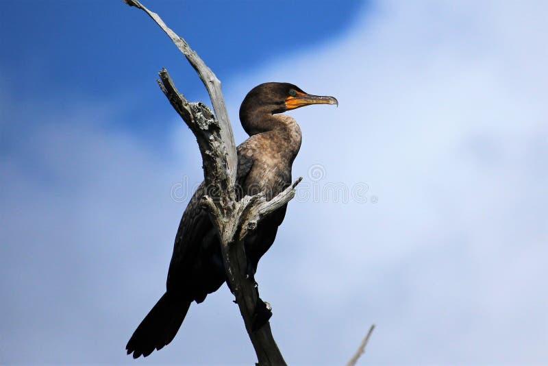 Dubblett-krönad kormorantonåring arkivbilder