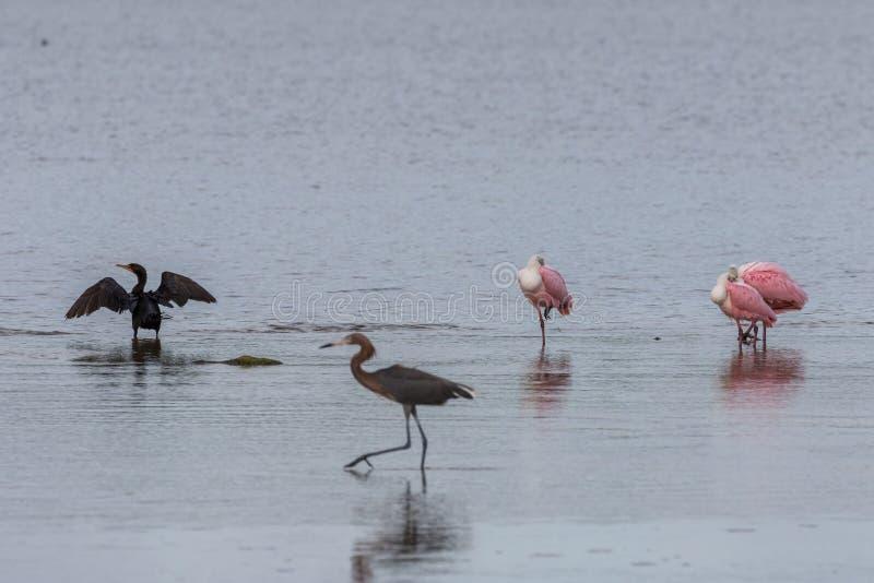 Dubblett-krönade kormoran och Roseate Spoonbills, J n Ding D royaltyfri foto