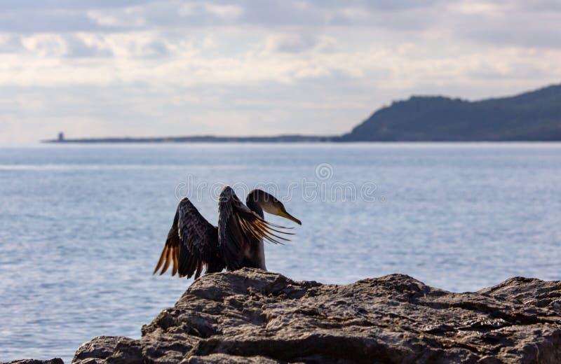 Dubblett-krönat kormoranflyg på medelhavet royaltyfria foton