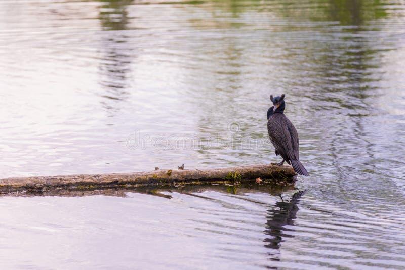 Dubblett-krönat sitta för kormoran av en inloggning mitt av en sjö arkivfoto