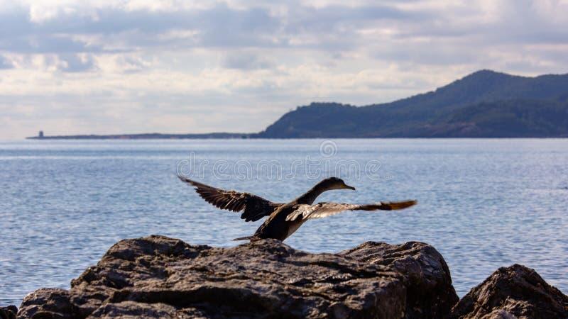 Dubblett-kr?nat kormoranflyg arkivfoto
