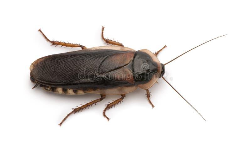 Dubia cockroach, Blaptica dubia stock photos
