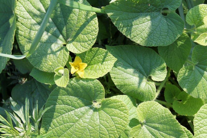 Dubia de Thladiantha o tubergourd Manchu Hojas amarillas de la flor y del verde imágenes de archivo libres de regalías