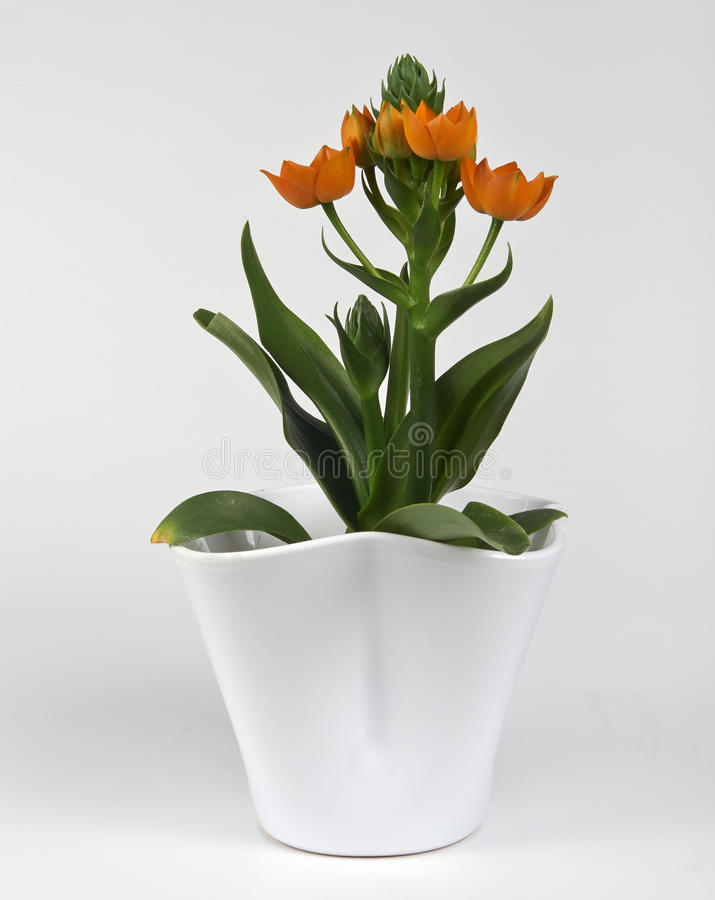 orchidee ornithogalum