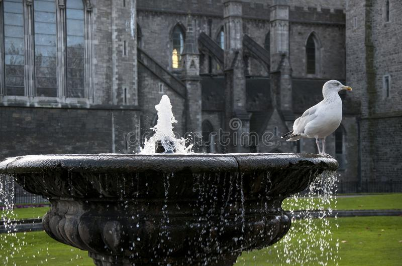 DUBLIN. IRELAND - November 09 ,2017 : Seagull in the fountain in the courtyard of St. Patrick`s Cathedral royalty free stock photo