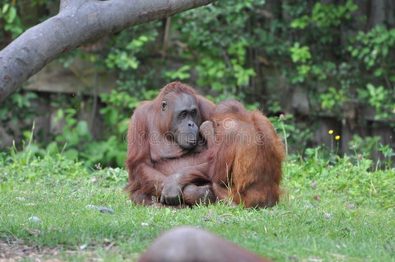 dublin orangutanzoo royaltyfria foton