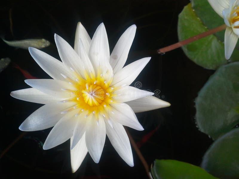 Dubois, тени, цветки, вода, листья, желтый цвет, черная предпосылка, цвет, вода стоковые фото