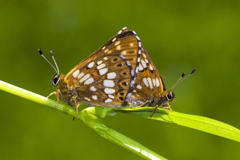 Duc de Bourgogne, papillon de lucina de Hamearis photos stock
