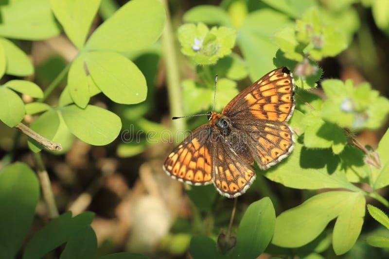 Duc de papillon de Bourgogne photographie stock libre de droits