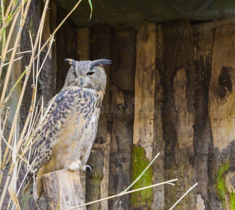 Duc eurasien se reposant sur un tronçon d'arbre, un oiseau de proie nocturne qui est l'Eurasie bien répartie images libres de droits