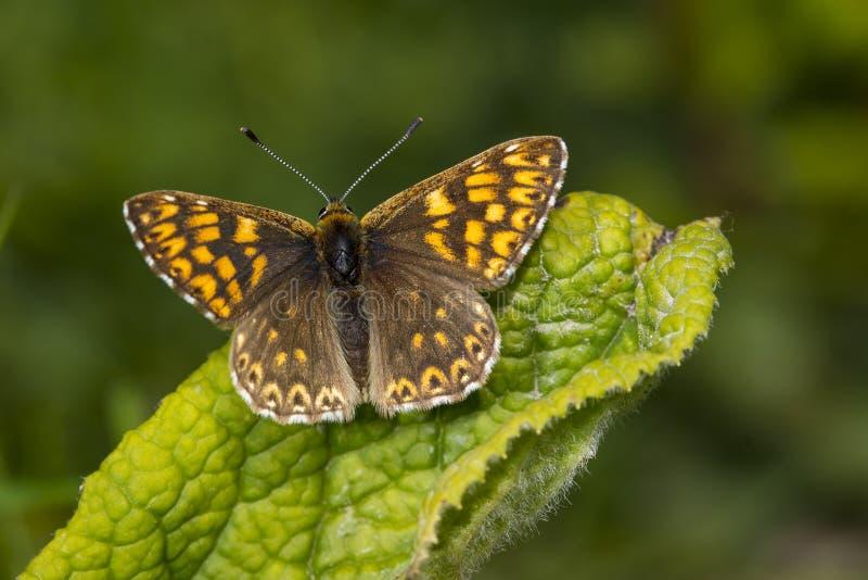 Duca della farfalla di Borgogna fotografia stock