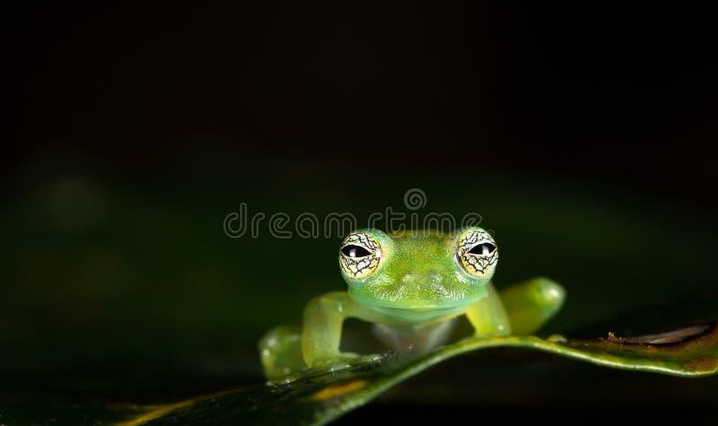 Duch szklana żaba, aka Limon żaby Sachatamia gigantyczny szklany ostrokrzew, obraz stock