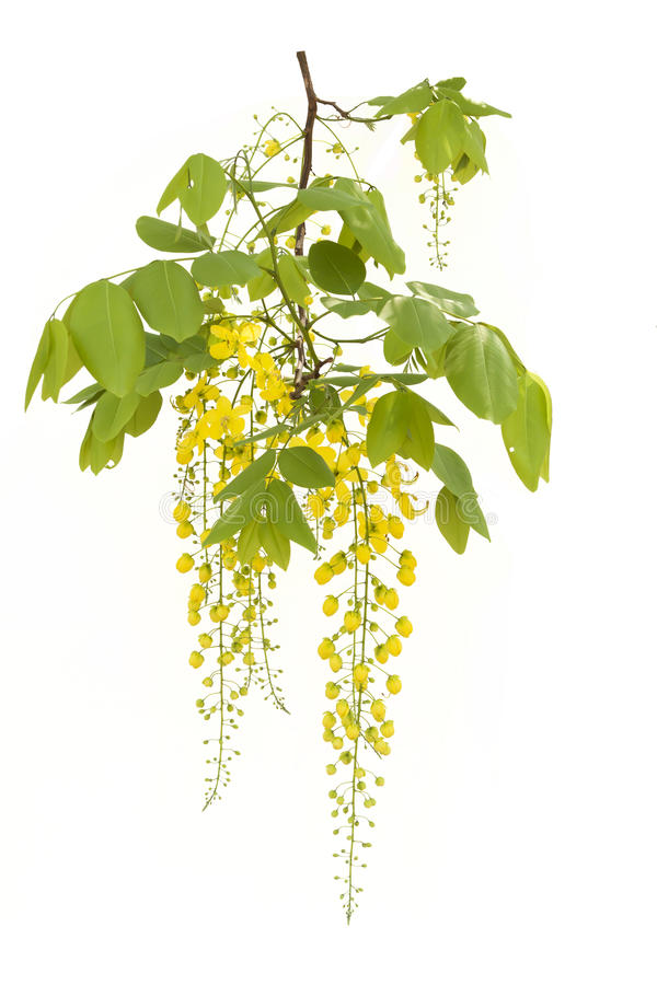 Ducha de oro amarilla, aislante de la flor de la fístula de la casia en el CCB blanco imagenes de archivo
