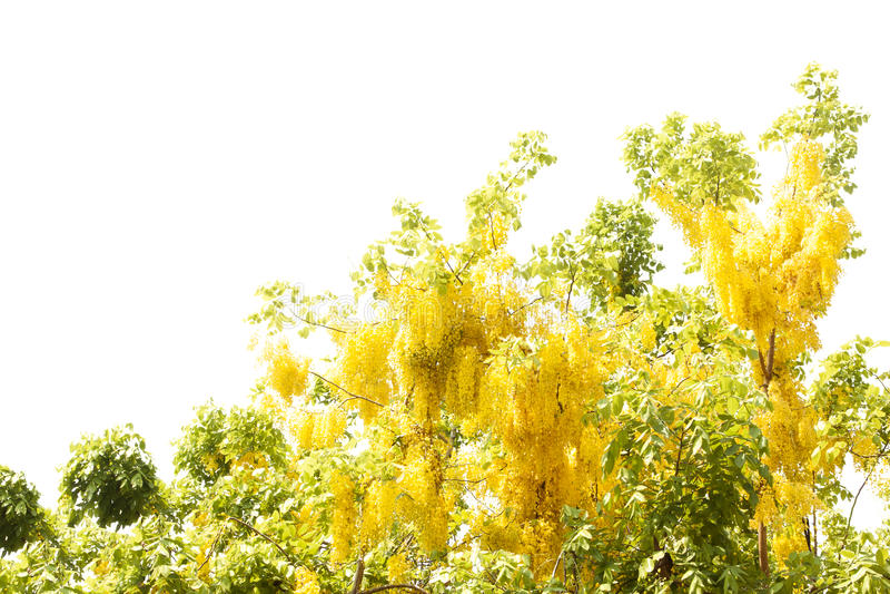 Ducha de oro amarilla, aislante de la flor de la fístula de la casia en el CCB blanco fotos de archivo