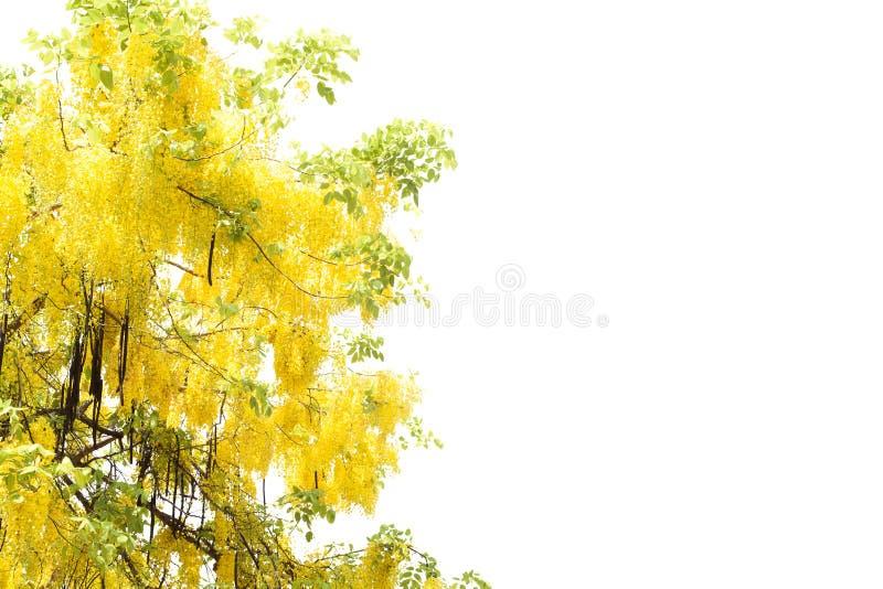 Ducha de oro amarilla, aislante de la flor de la fístula de la casia en el CCB blanco fotografía de archivo libre de regalías