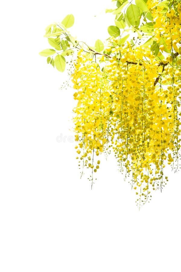 Ducha de oro amarilla, aislante de la flor de la fístula de la casia en el CCB blanco fotografía de archivo