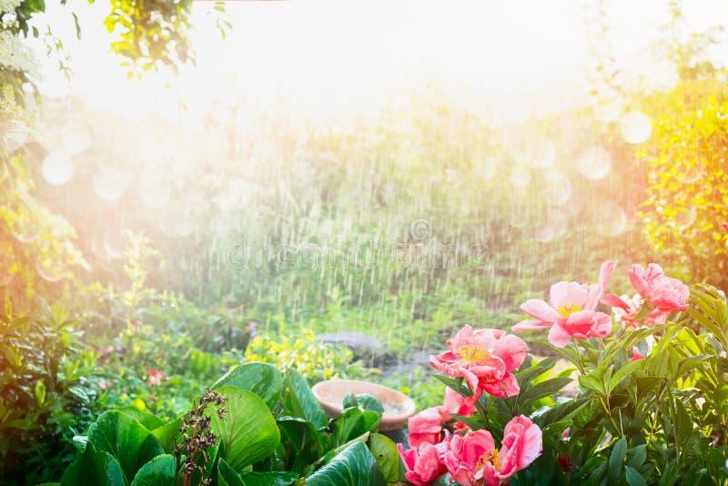 Ducha de Sun en jardín de flores Llueva con sol en el jardín o el parque, fondo al aire libre de la naturaleza imagen de archivo