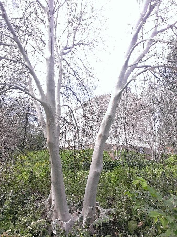 Ducha drzewo zdjęcie stock
