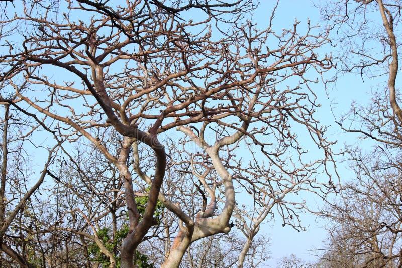 Ducha drzewo pench park narodowy, madhyapradesh, ind, ja zmienia swój colour fluorescencyjny spojrzenie w księżyc świetle z sezon zdjęcia stock