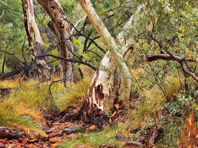 Ducha dziąsła Biali Eukaliptusowi drzewa, królewiątko jar, Australia zdjęcia royalty free
