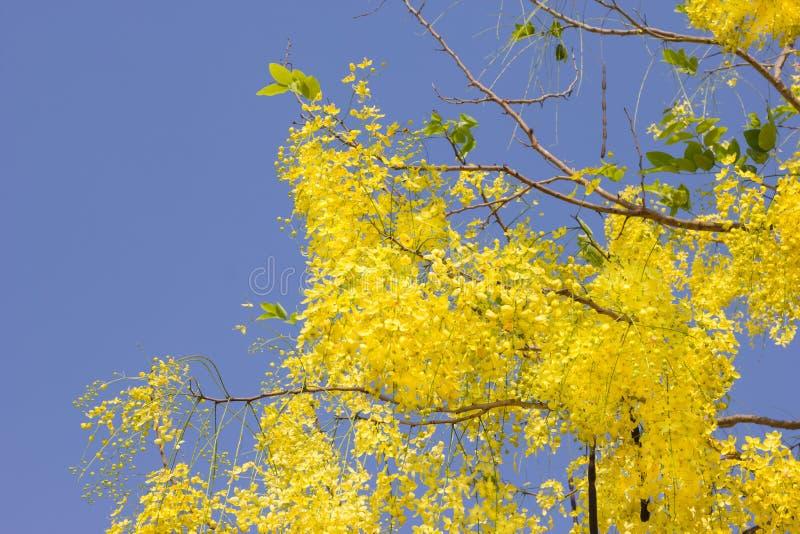 Ducha o Cassia Fistula de oro en el cielo azul, árbol nacional de Tailandia fotografía de archivo libre de regalías