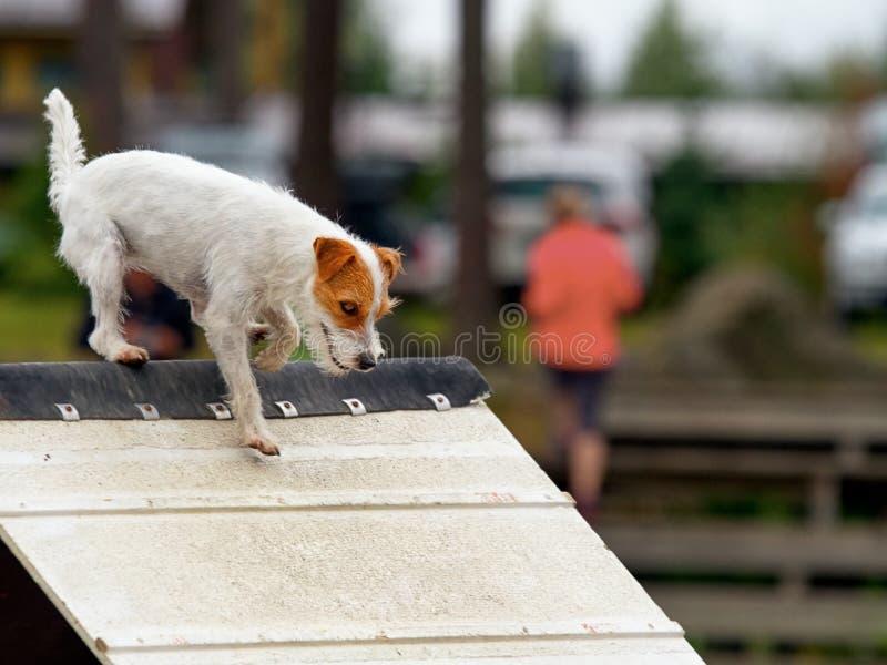 Duchowny Jack Russel Terrier w zwinności obrazy stock