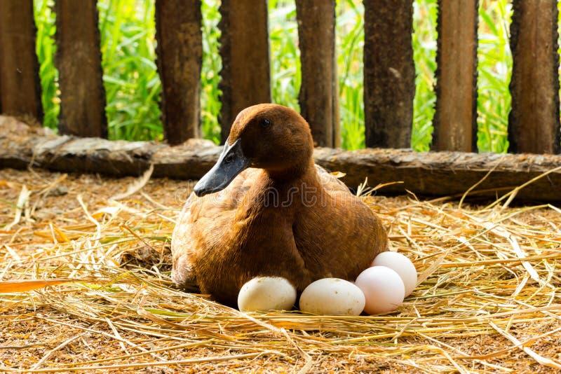 Duck инкубатор ее яичка на гнезде соломы стоковая фотография