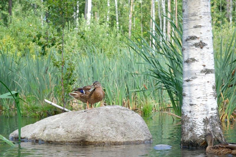 Duck на большом камне в озере или пруде около березы на backgrou стоковая фотография