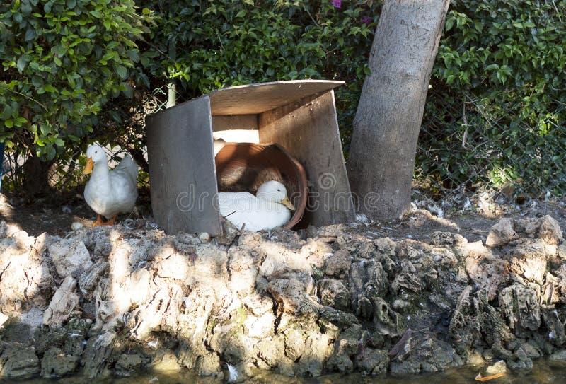 Duck птица насиживая яичка в фото стойла стоковые фото