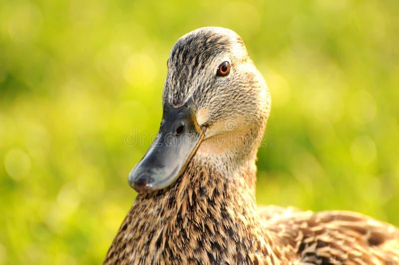 Duck 005 stock image
