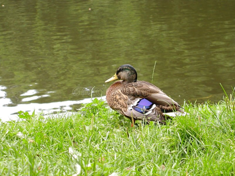 Download Duck Stock Image - Image: 9191