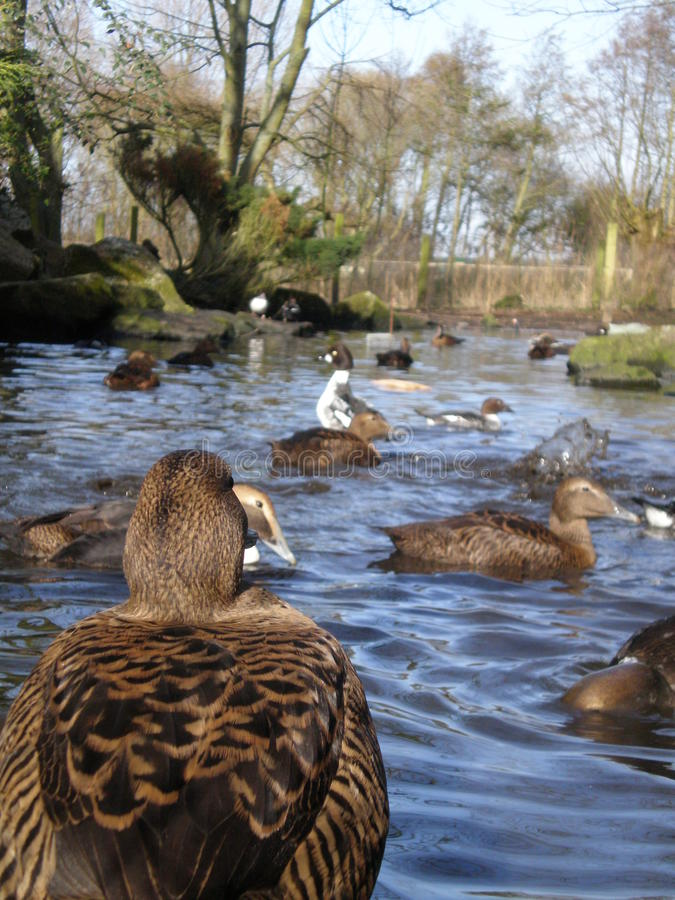 Download Duck stock photo. Image of back, close, duck, nature - 10746582