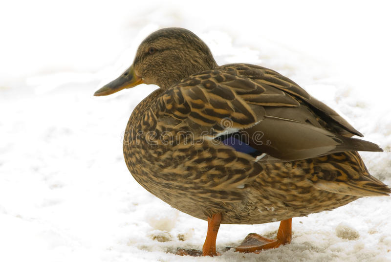 Download Duck stock photo. Image of hunt, mallard, white, fall - 13371742