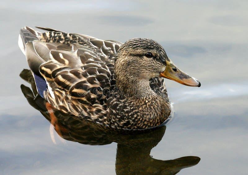 Download Duck stock photo. Image of duck, reflection, beak, bird - 15256