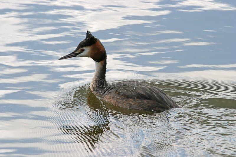 Download Duck stock image. Image of water, ripple, animals, birds - 15571