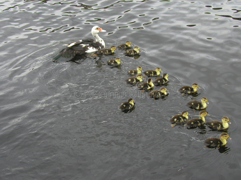 Duck with 17 little kids stock images