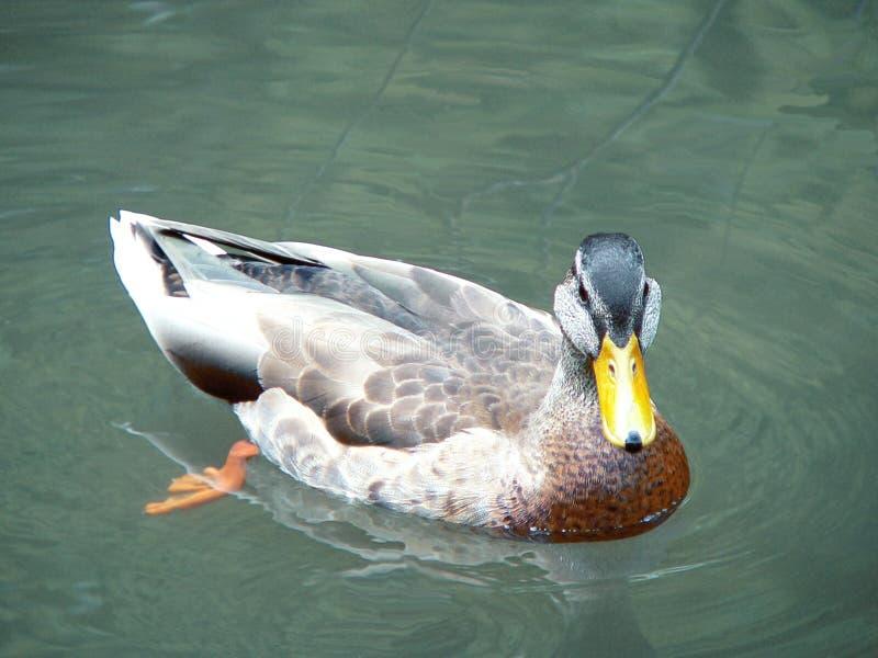 Duck stock image