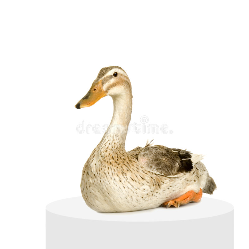 Download Duck Royalty Free Stock Photo - Image: 2307625